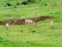 Tanzania–Ngorongoro Crater Grant's Gazelles