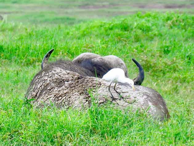 Tanzania Ngorongoro Crater Cape Buffalo And Bird
