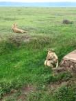 Tanzania Ngorongoro Crater Lions!