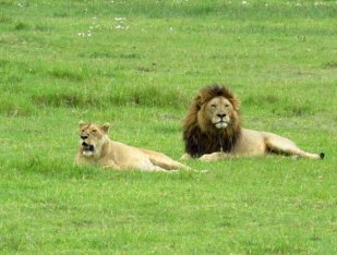 Tanzania Ngorongoro Crater Lions2