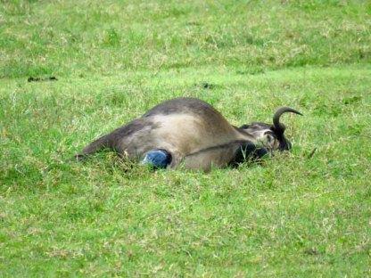 Tanzania Ngorongoro Crater– Wildebeest In Labor