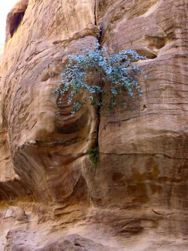 Petra–Caper Tree2