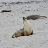 kangaroo Island, Seal Bay, Yoga Seal