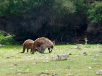 Kangaroo Island–Mama with large Joey in pouch