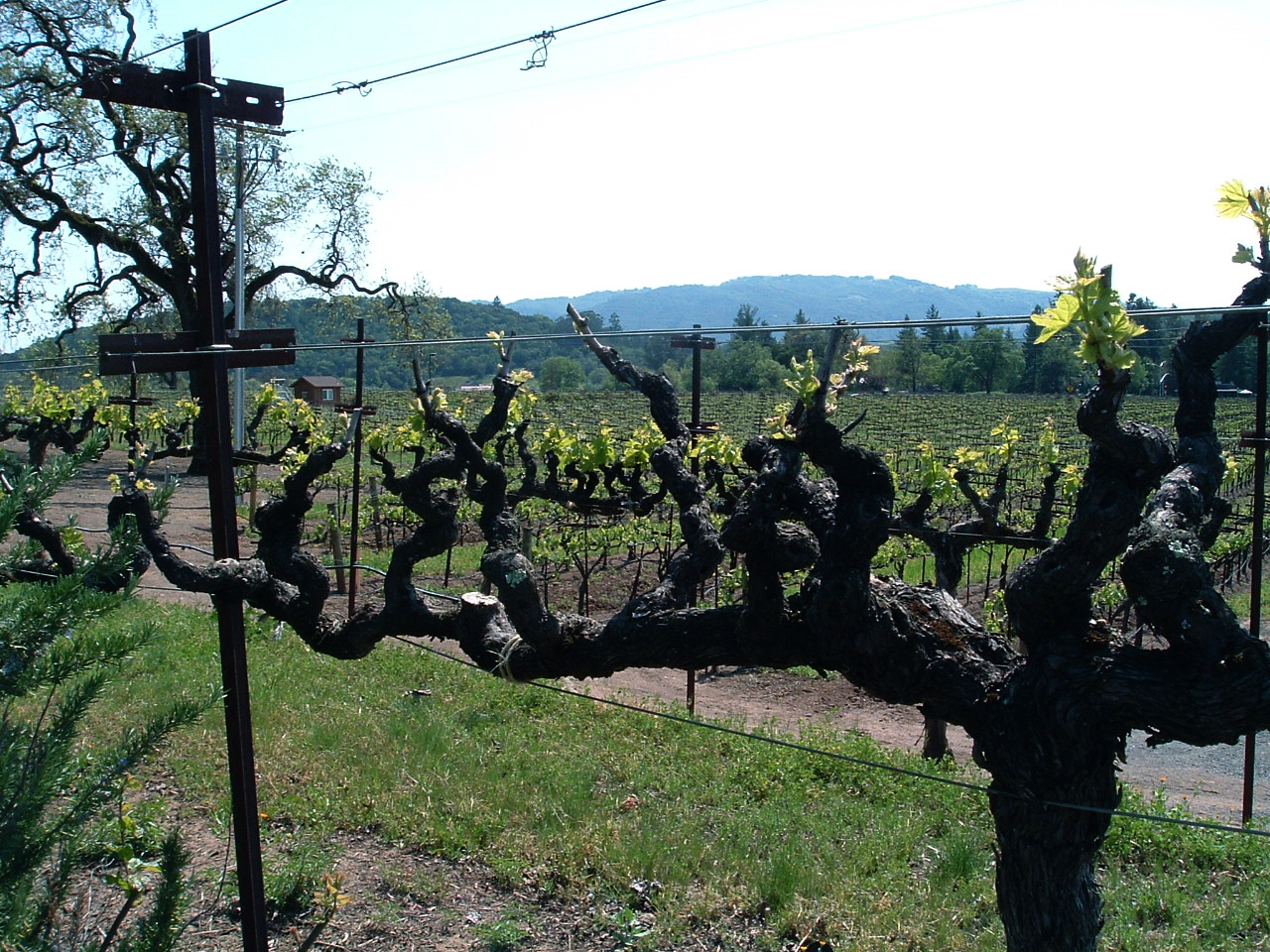 100-year-old zin vines