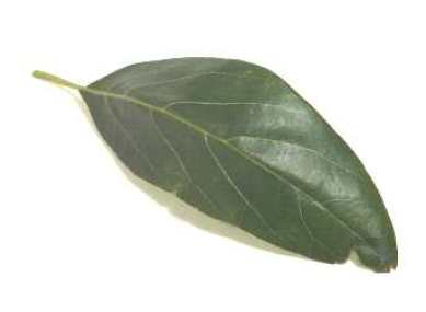 avocado leaf isolated