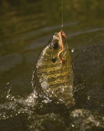 bluegill or bream (brim) on hook with earthworm as bait