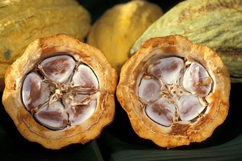 cacao or chocolate pod (fruit) cut open to show the cocoa (cacao) beans inside