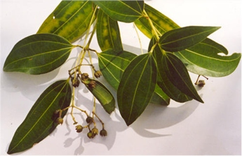cutting from cinnamon tree showing foliage and flowers