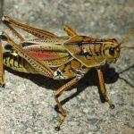 Eastern Lubber grasshopper poisonous
