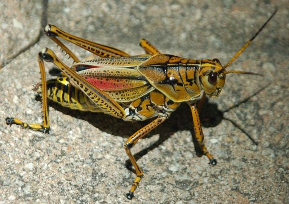 Eastern Lubber grasshopper poisonous