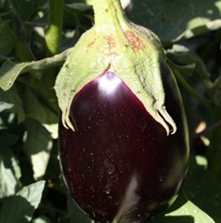 eggplant on plant