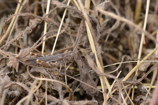 plain brown grasshopper hiding in grass