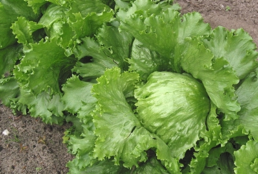 iceberg lettuce growing in field