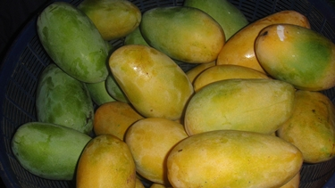 Unripe green and ripe yellow mangoes