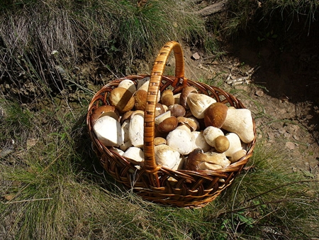 Basket of Mushrooms gathered from forest