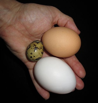comparison of a quail, duck, and chicken egg held in hand