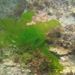 sea lettuce growing underwater