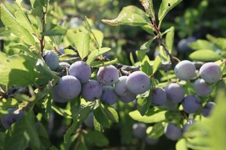 Sloe berries (sloes) on a Blackthorn Bush