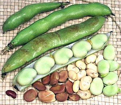 different size fava bean pods and dried beans