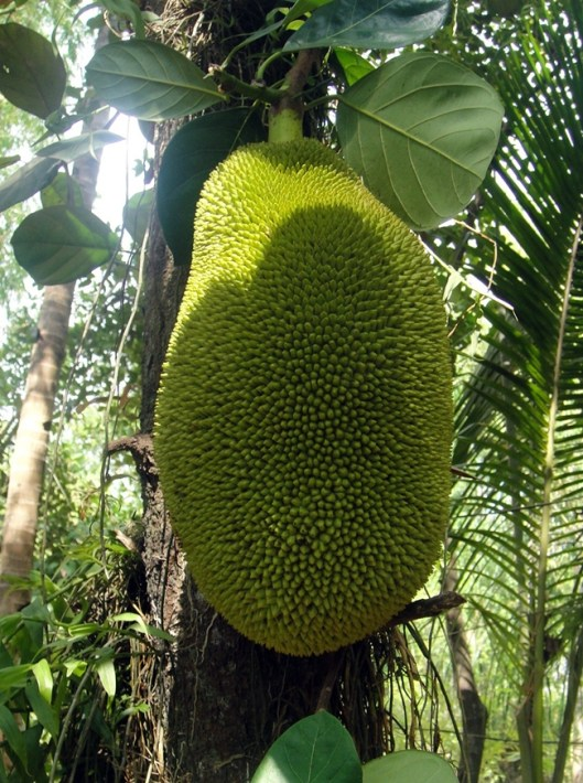 large jackfruit on tree