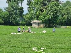 Plantation de thé - cueilleurs
