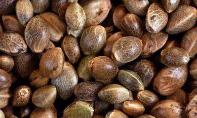 Como cultivar sementes automaticas