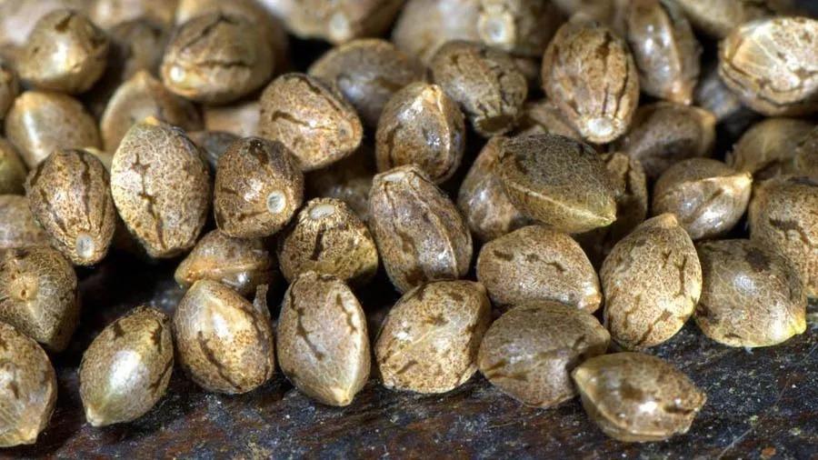 foto de várias sementes de cannabis