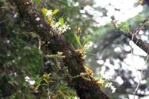 Orquídea em seu habitat natural: Sob a copa de uma árvore.