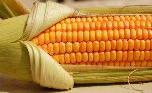 O milho que consumimos. Transgênico?