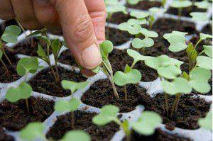 Desbaste: Mantendo só as plantas mais fortes.