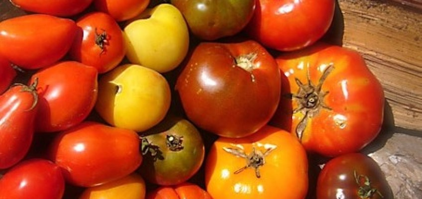 """Tomatoes… aka """"wolf peaches"""" (apparently)"""
