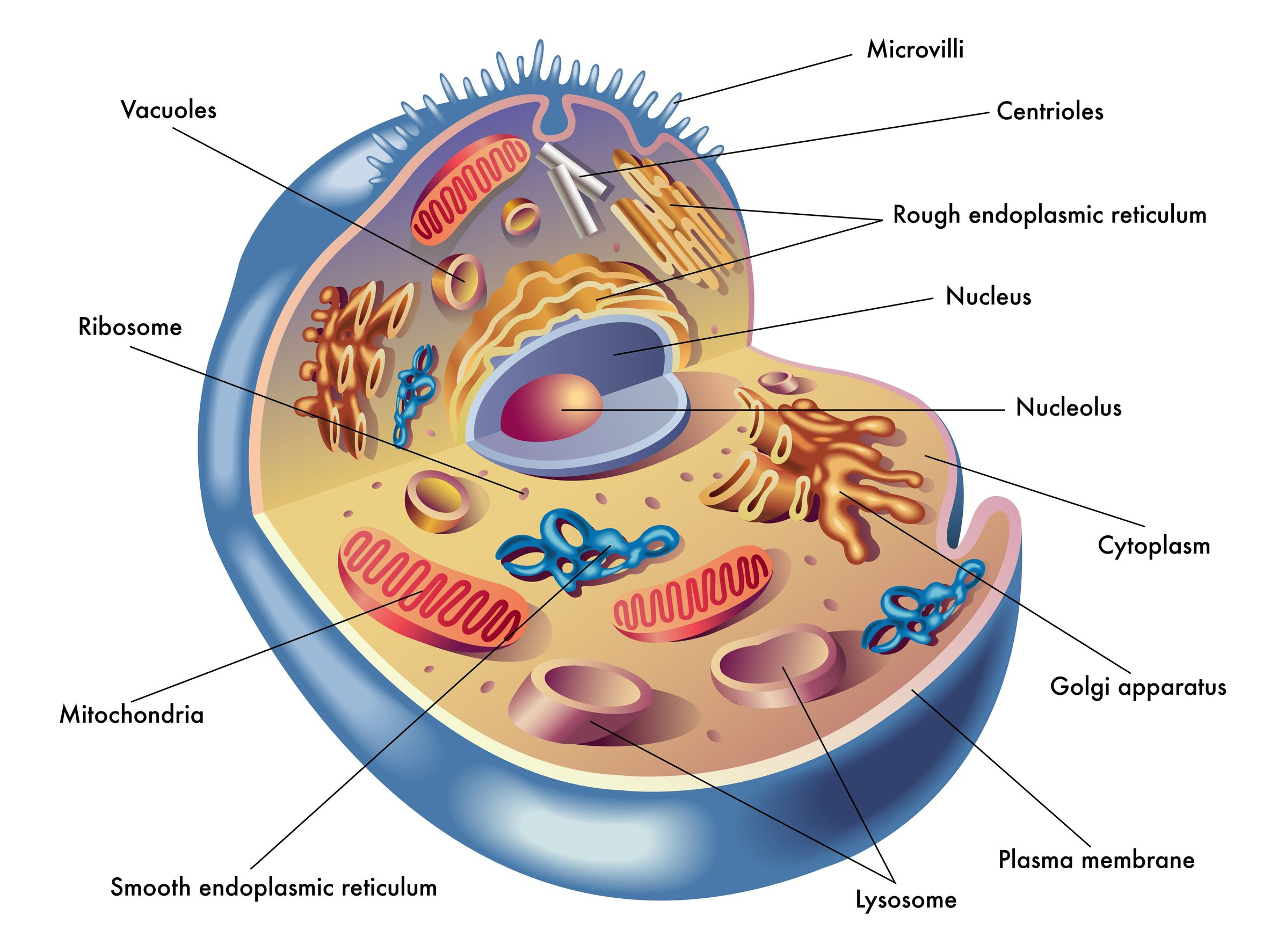 mitochondrion structure diagram nuheat signature wiring mitochondria cultivate your nature