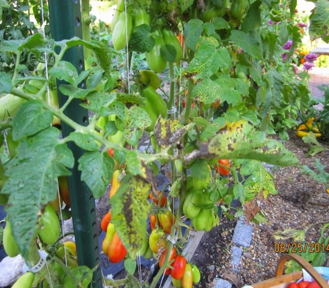 Early Blight on Tomatoes – Some strategies that have worked for me