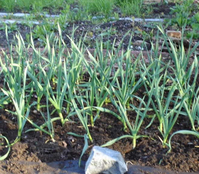 IT'S TIME TO PLANT GARLIC