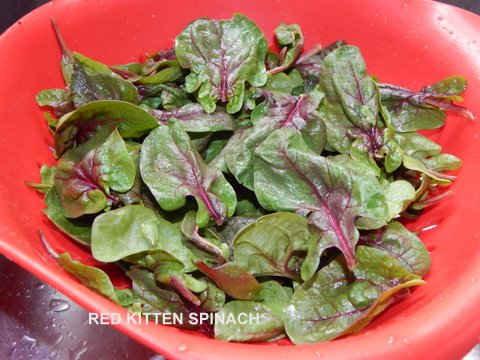 Red Kitten Spinach – An Experiment that worked