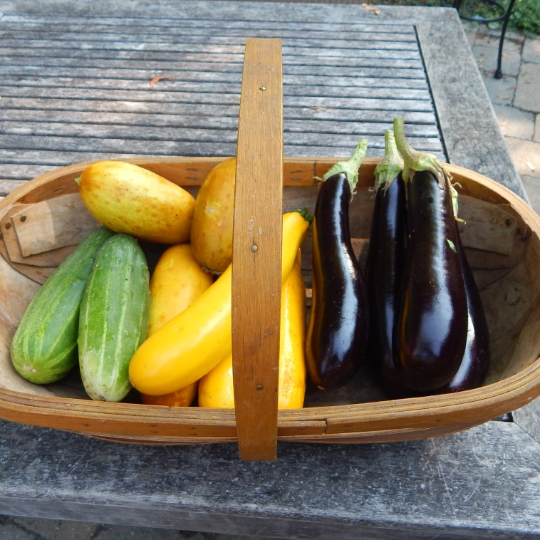 A TYPICAL DAILY HARVEST FEATURING BROWN RUSSIAN CUKES, BUSH MASTER CUKES, YELLOW ZUCCHINI AND ITALIAN EGGPLANT,