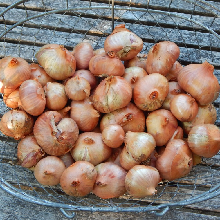 SHALLOTS READY FOR STORAGE