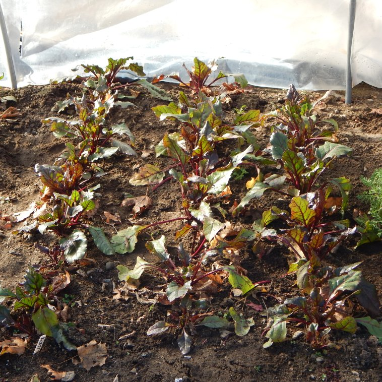 THE BEET PATCH THE SUNDAY BEFORE CHRISTMAS