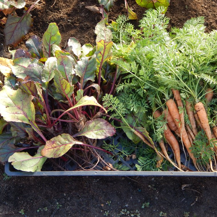 BEET GREENS AND BABY CARROTS HARVESTED THE SUNDAY BEFORE CHRISTMAS