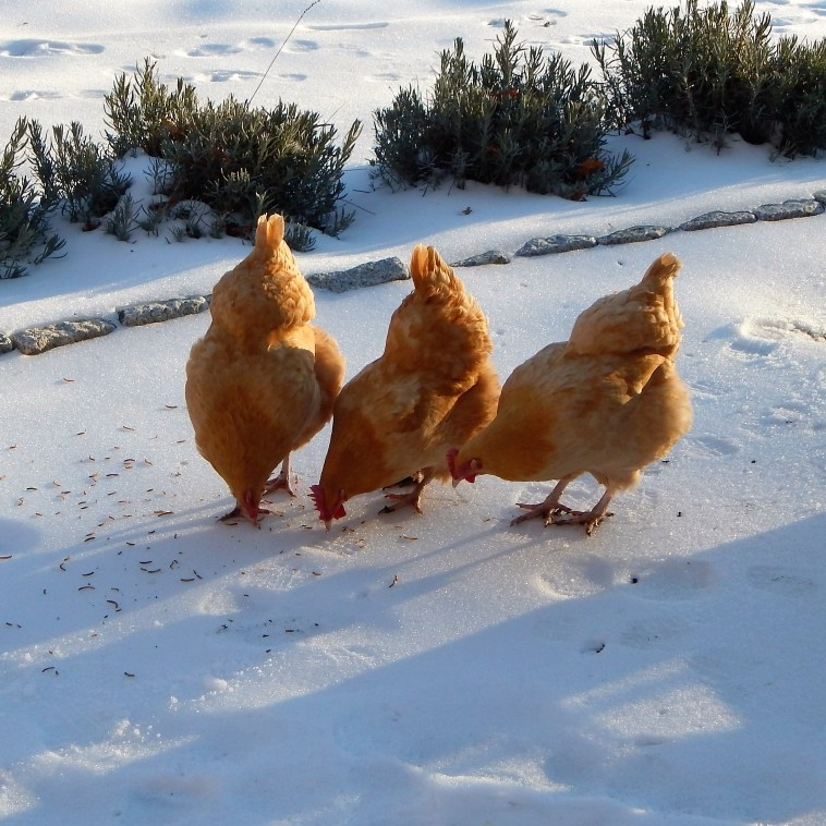 THREE CHICKENS ON SNOW IN LATE AFTERNOON