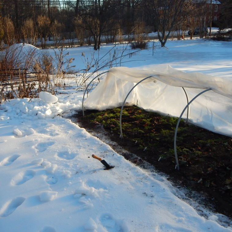 THE LOW TUNNEL WITH THE SNOW CHIPPED AWAY AND THE GREENHOUSE PLASTIC PEALED BACK
