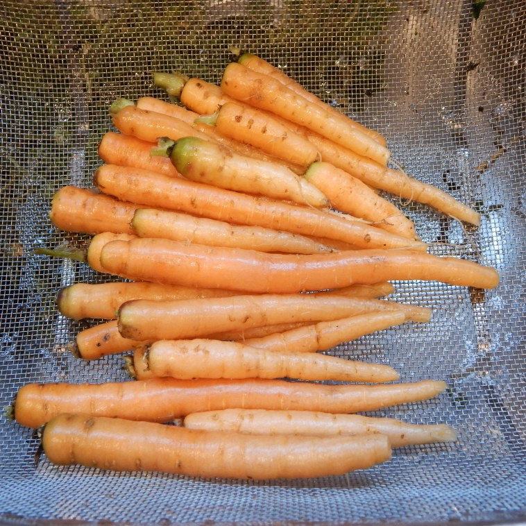 HARVESTED LATE WINTER CARROTS