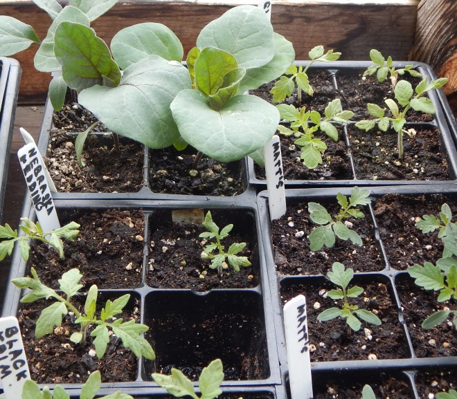FIVE REASONS TO GROW YOUR OWN VEGETABLE AND FLOWER SEEDLINGS