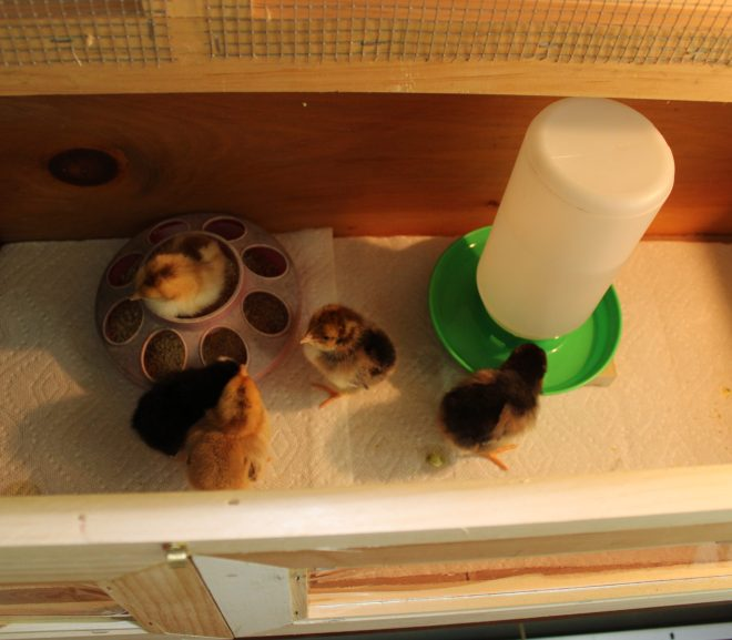 A GREAT DAY -OUR NEW CHICKENS ARRIVE SAFE AND SOUND