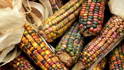 différents maïs cultiver champignon