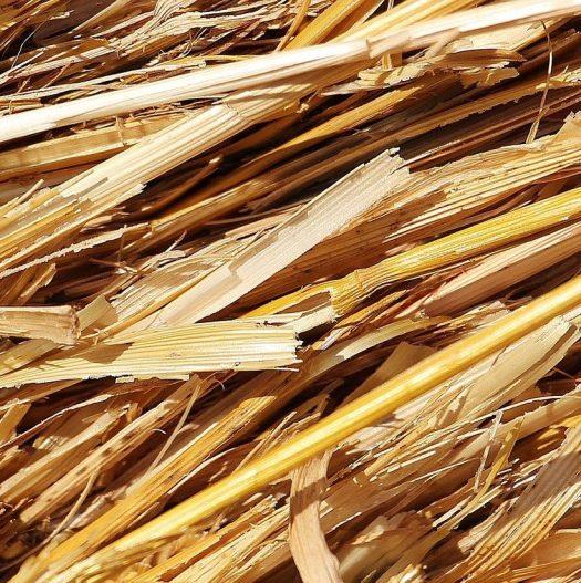 Paille blé cultiver champignons