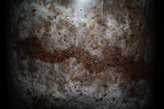 La mycélium de la pleurote est agressif est se développe rapidement sur le substrat