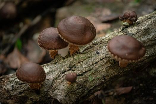 Le champignon shiitaké se cultive de manière traditionnel sur bûche en Asie