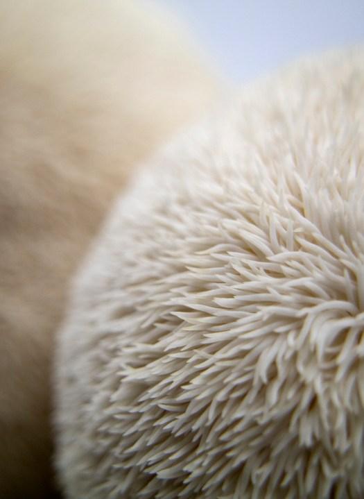 Zooms sur les aiguilles du lion's mane